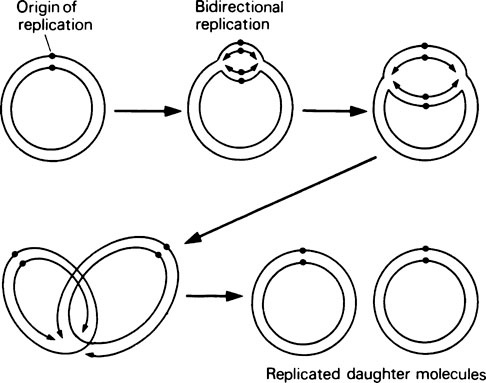 Dna Replication And Gene Expression