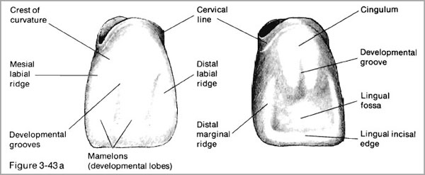 Amazing Dental Anatomy Of Maxillary Central Incisor Composition ...