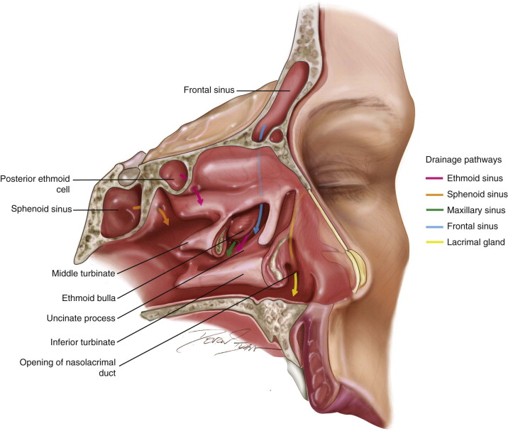 The Paranasal Sinuses Pocket Dentistry