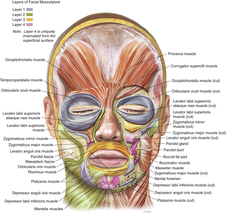 The Anatomy of the Face, Mouth, and Jaws | Pocket Dentistry