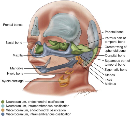 embryology of the head and neck | pocket dentistry, Human Body