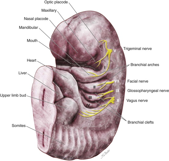 Management of Branchial Cleft Cysts, Sinuses, and Fistulae | Pocket ...