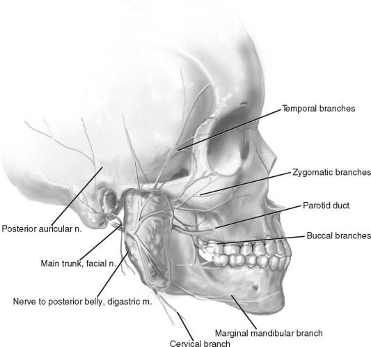 temporal-branch-of-facial-nerve