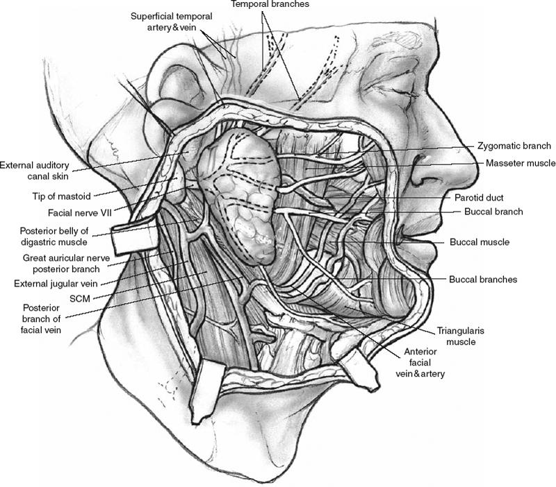 Anatomy of submandibular salivary gland