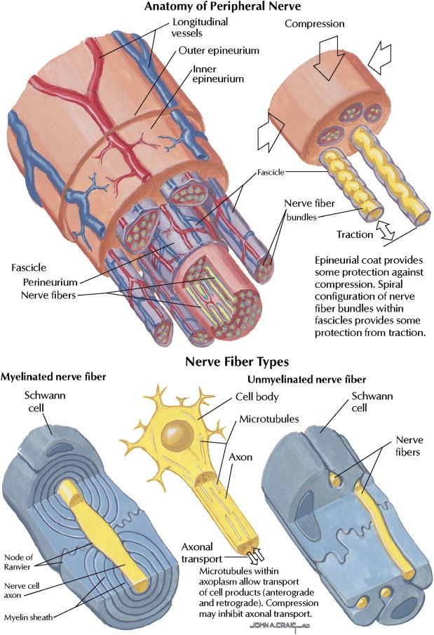 peripheral nerve response to injury