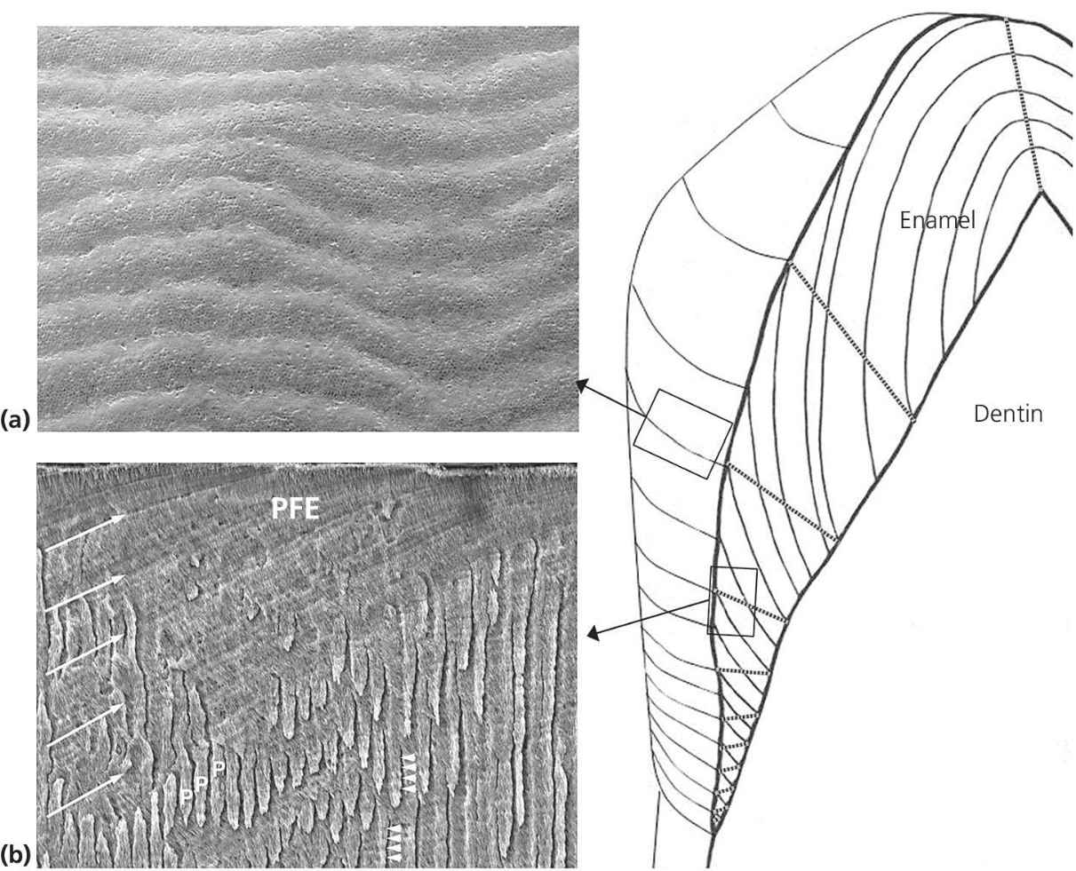 Left: SEM images of perikymata on the enamel surface (top) and PFE (bottom). Right: Schematic representation of hemi‐sectioned tooth with incremental lines in enamel.
