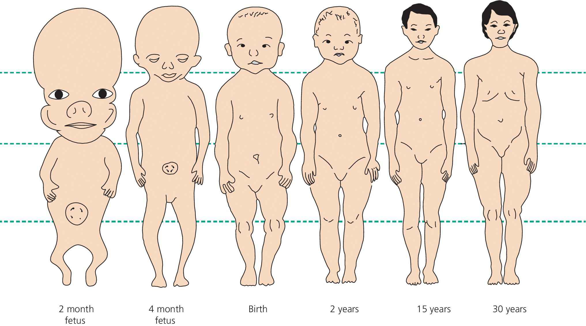 Illustration of the changes in human body proportions during development and growth. It features a human at 2 months, at 4 months, at birth, at 2 years, at 15 years, and at 30 years.