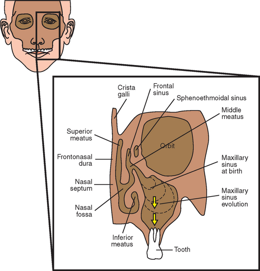 Anatomy of nose and sinuses