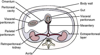 viscual peritial perineum diagram  #15