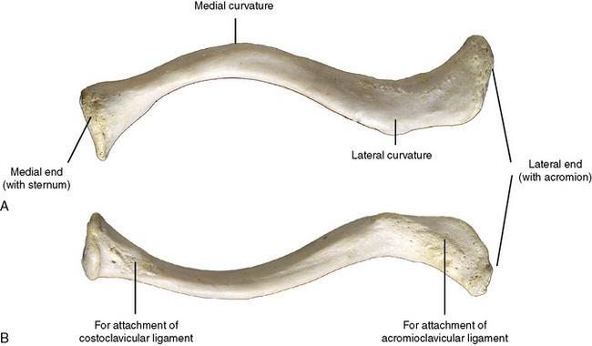 Clavicle Superior View
