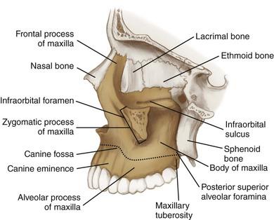 Facial Bone Anatomy: Overview, Mandible, Maxilla