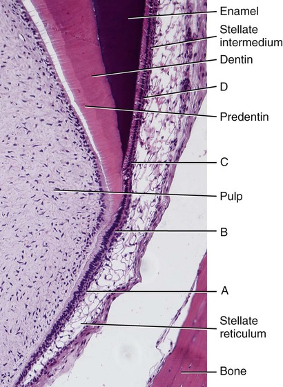 Enamel Histology Diagram Search For Wiring Diagrams