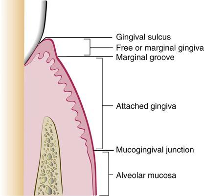 1: Anatomy of the Periodontium | Pocket Dentistry