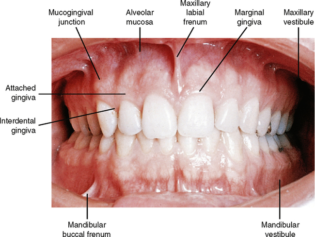 Normal Oral Anatomy-DoctorSpiller.com – DoctorSpiller.com