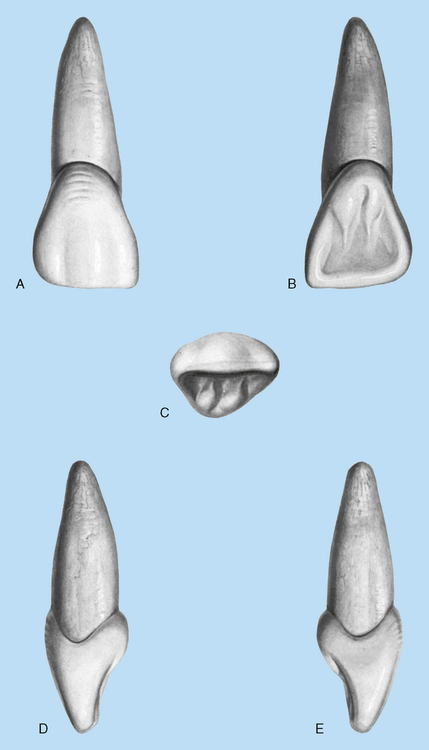 erupted tooth