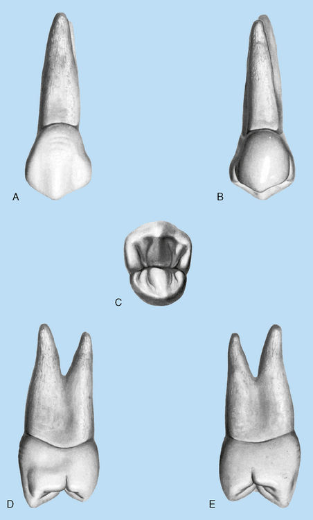 141 a maxillary right first premolar a buccal view b lingual view c occlusal view d mesial view e distal view modified from zeisz rc