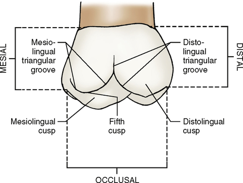 Anatomy of a molar