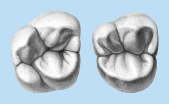 molar tooth structure - 344×213