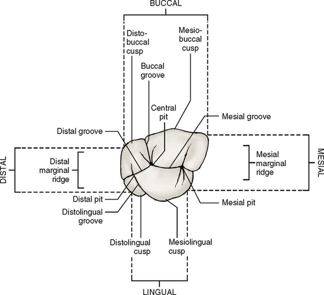 Dental anatomy of maxillary first molar