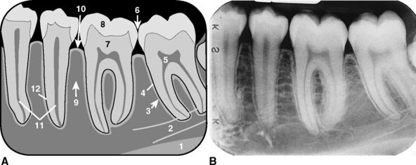 1 Normal Anatomy Pocket Dentistry