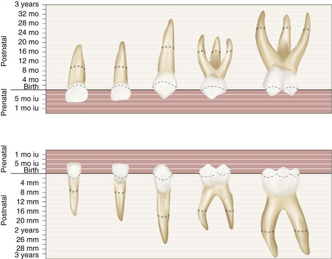 3: The Primary (Deciduous) Teeth | Pocket Dentistry