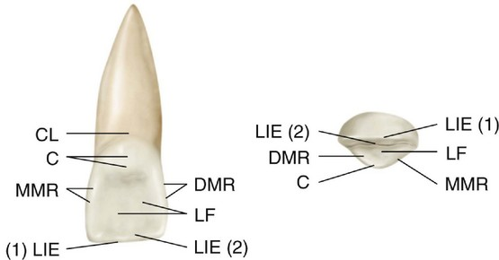 6: The Permanent Maxillary Incisors | Pocket Dentistry