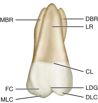 Anatomy of molars