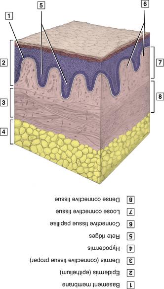 3 Anatomy Biochemistry And Physiology Pocket Dentistry
