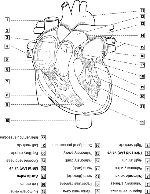 3 anatomy biochemistry and physiology pocket dentistry figure 3 12 internal view of the heart ccuart Image collections
