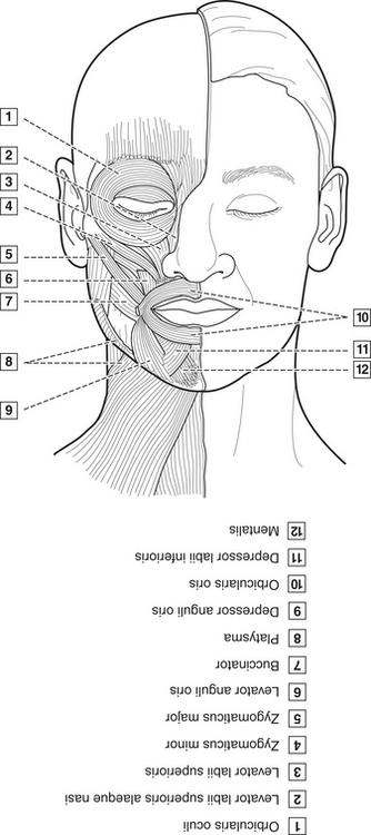 4 head neck and dental anatomy pocket dentistry. Black Bedroom Furniture Sets. Home Design Ideas