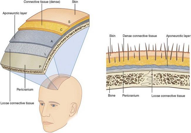 Top of head anatomy