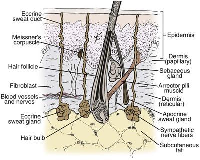 1 Anatomy Of The Skin Pocket Dentistry
