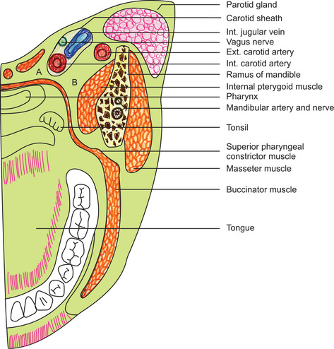 Parapharyngeal Space Anatomy images