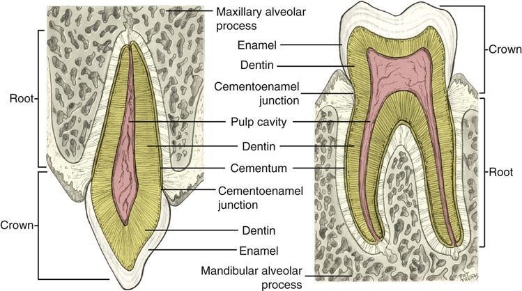 Dental Anatomy Romeondinez
