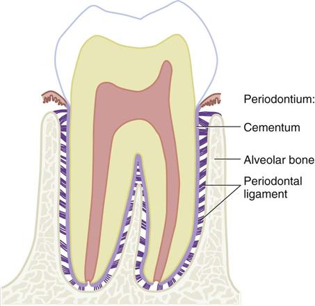 4. Dental Anatomy | Pocket Dentistry