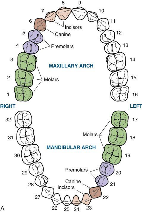 4. Dental Anatomy | Pocket Dentistry
