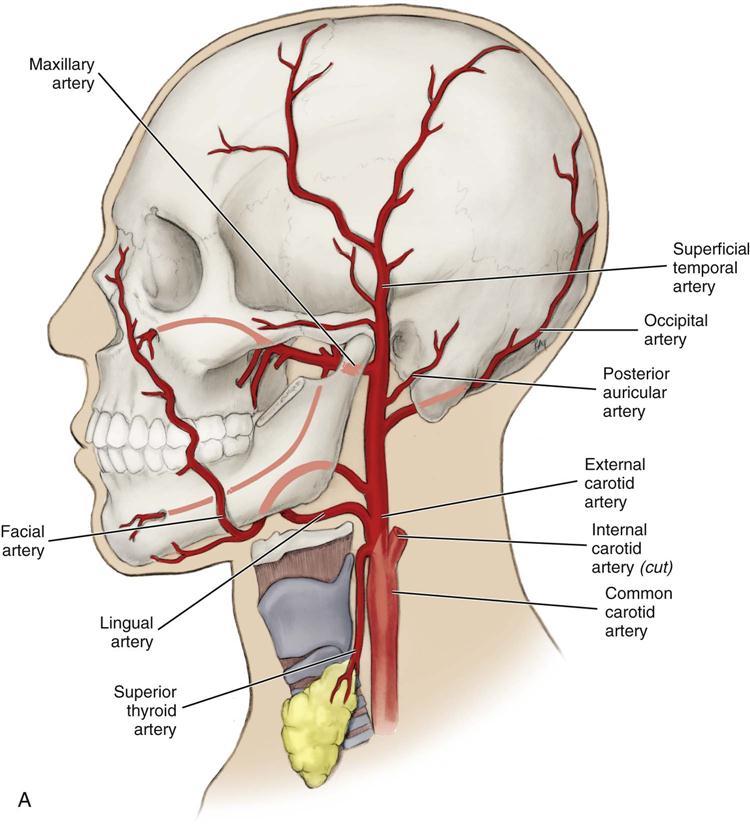 Ascending Pharyngeal Artery