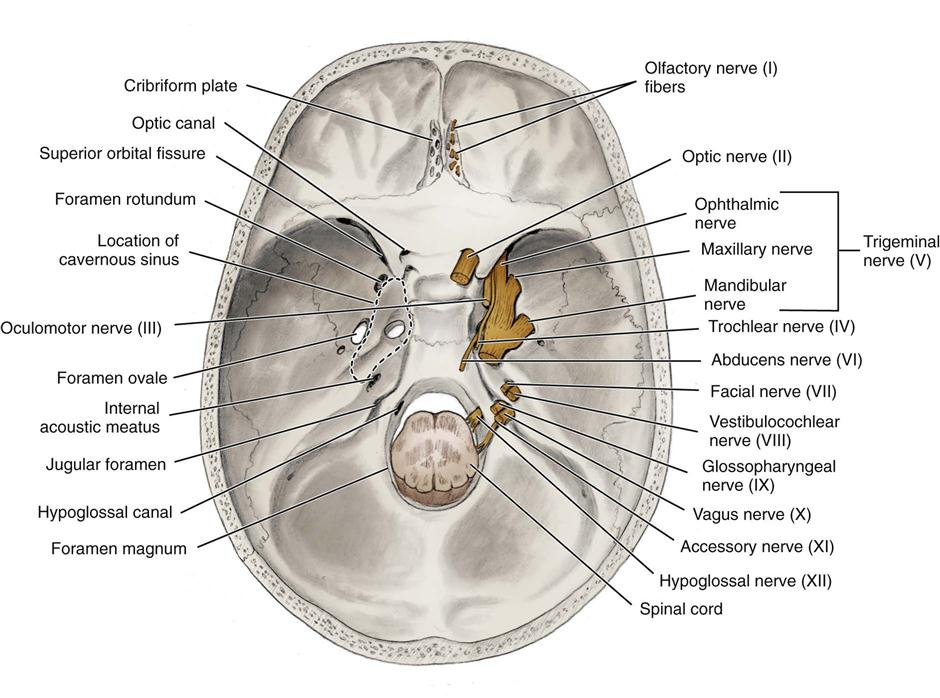Fetal Skull Superior View Diagram | Printable Human Organ ...
