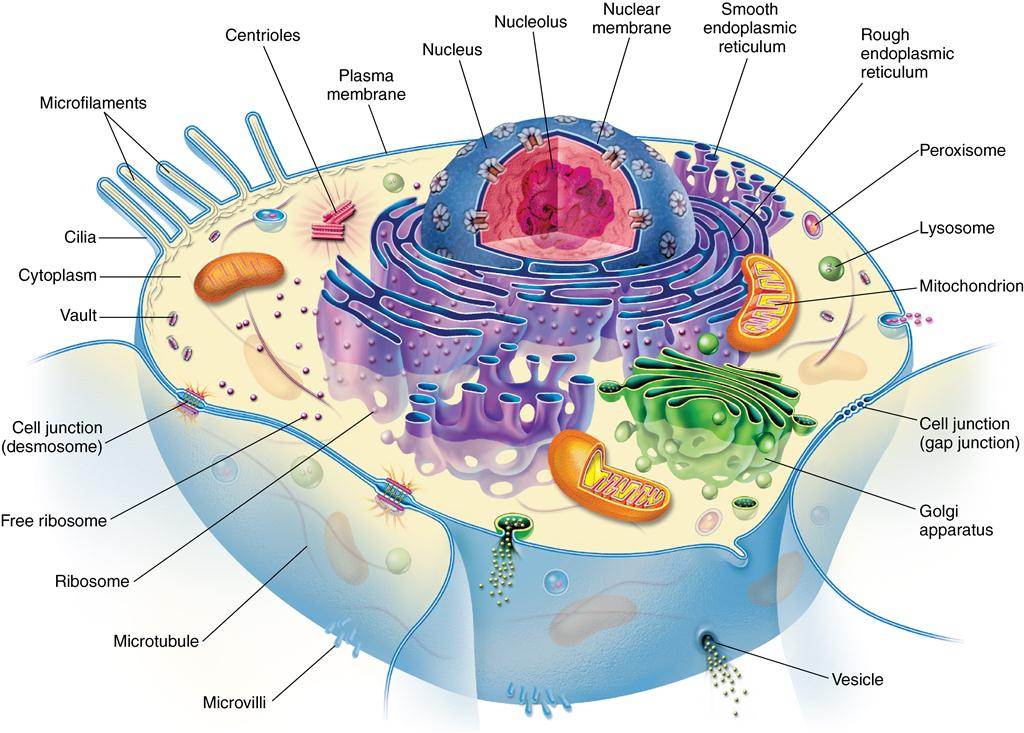 1 development and structure of cells and tissues pocket dentistry cell cytoplasm ccuart Image collections