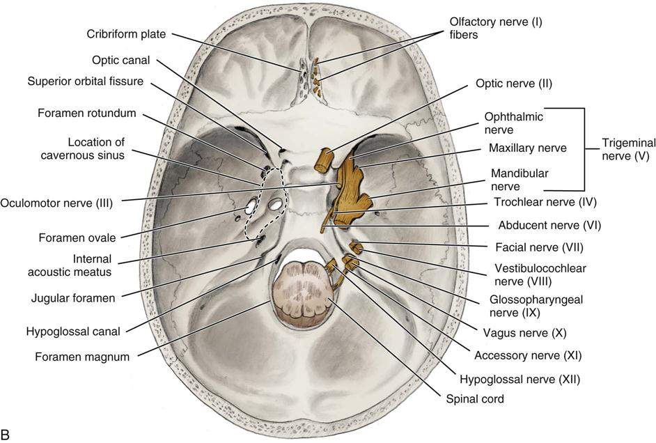 sphenoid bone cranial nerves – citybeauty, Human body