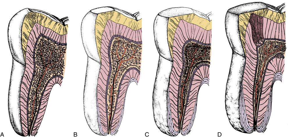9  Dental pulp | Pocket Dentistry