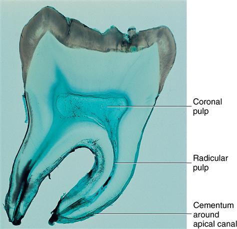 9 Dental Pulp Pocket Dentistry