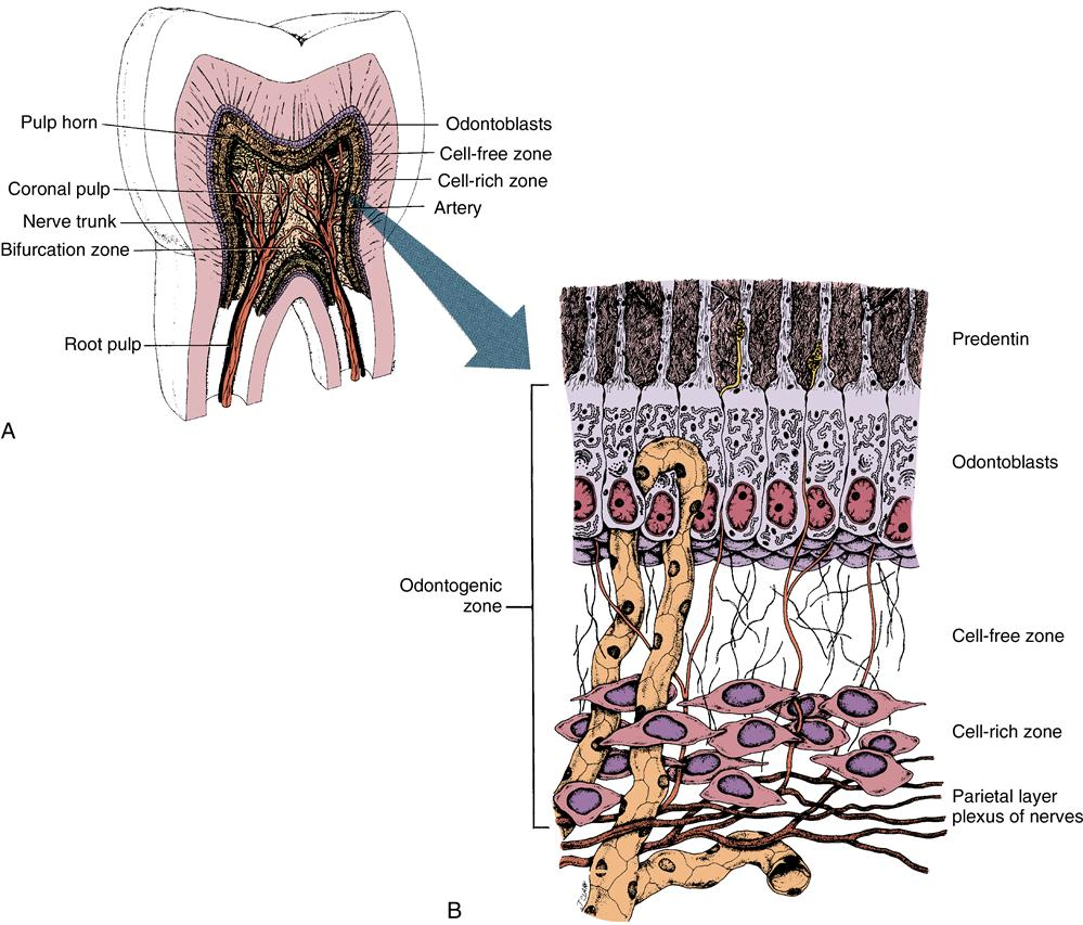 dental pulp diagram dental oral diagram