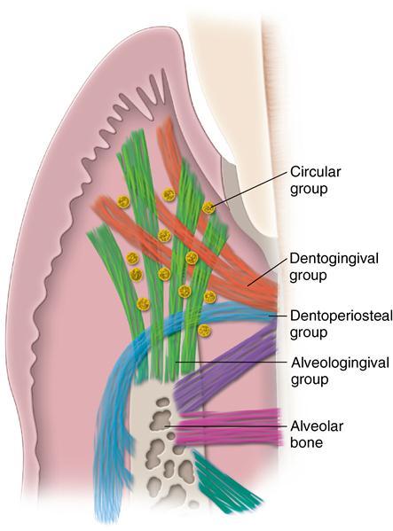 Dentin  Wikipedia