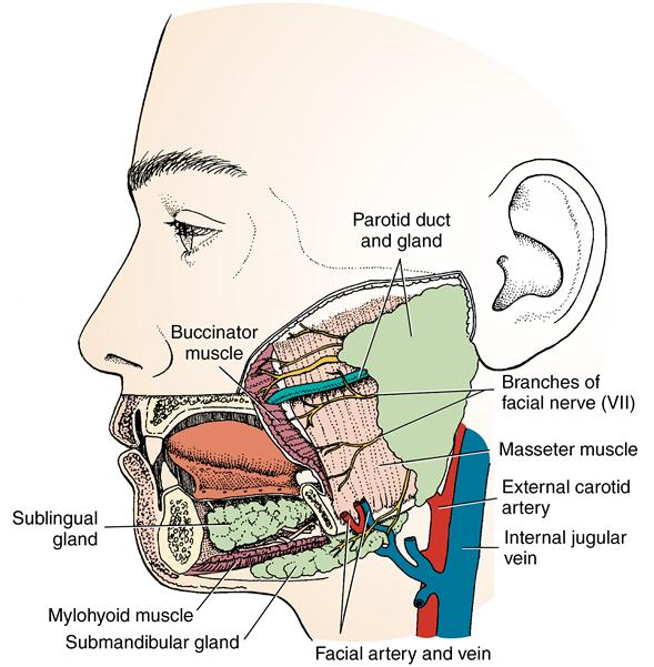 15 salivary glands and tonsils pocket dentistry diagram of inside of a 747 #3