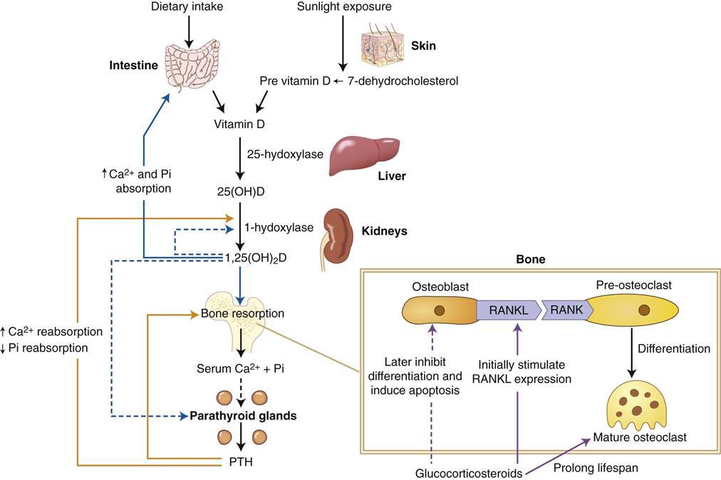vitamin d steroid wikipedia