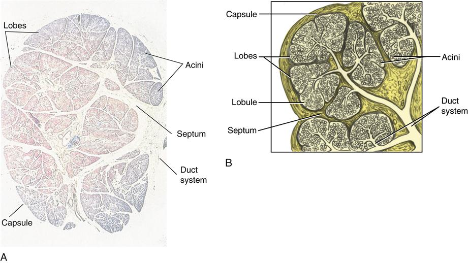 what glands produce testosterone