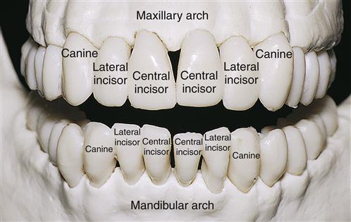 Anterior tooth anatomy