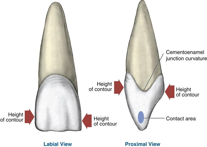 16. Permanent Anterior Teeth | Pocket Dentistry