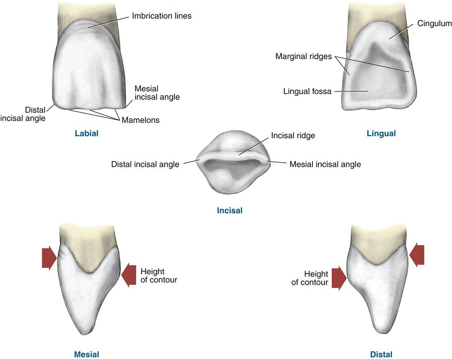 16 Permanent Anterior Teeth Pocket Dentistry